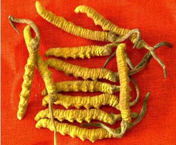 des cordyceps